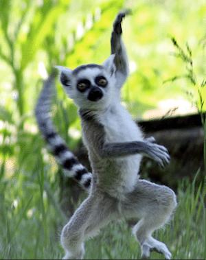longtailed_lemur_madagascar
